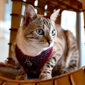 Catspia Cat Burgundy Harness with Leash