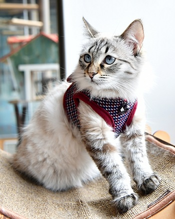 Catspia Cat Darke Burgundy Harness with Leash